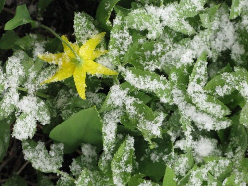 Glacier lily in snow